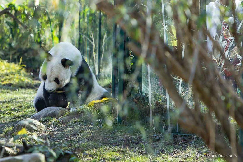 Le parc zoologique de Vienne est l'un des rares dans le monde à posséder des pandas géants.